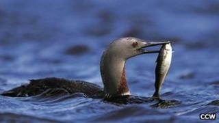 Red throated diver