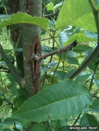 Common ash tree infected with Chalara ash dieback (Image: Woodland Trust)