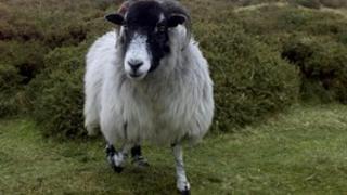 Sheep on Dartmoor Pic: AP
