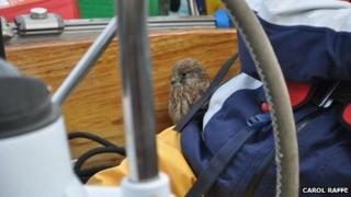 A young kestrel on Carol Raffe's boat