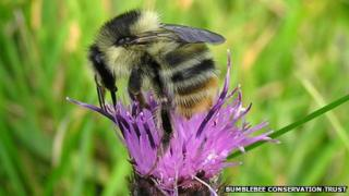 Shrill carder bumblebee
