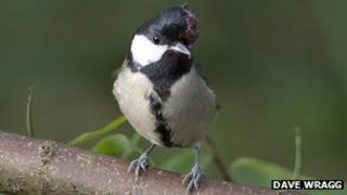 Great tit with avian pox