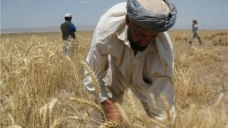 A farmer tends his crop in Takhar province
