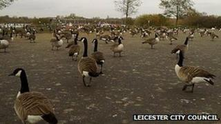 Geese at Watermead before the crackdown