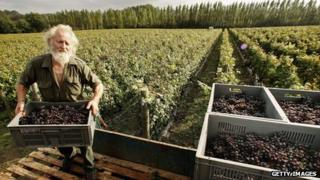 Grape picker at Nyetimber