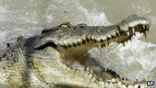 File picture of Australian saltwater crocodile