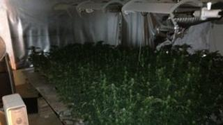 Cannabis plants recovered (Sussex Police)