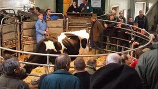Bridgwater cattle market