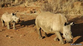 Two black dehorned rhinoceros in South Africa