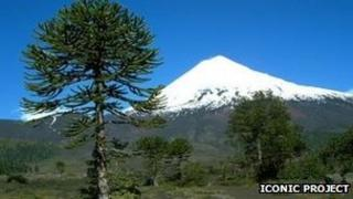 Chilean tree