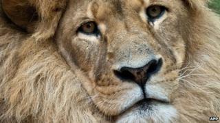 A lion, file pic