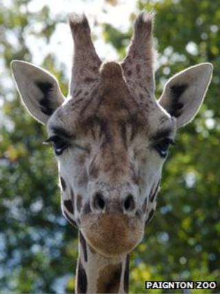 Tonda the Rothschild's giraffe