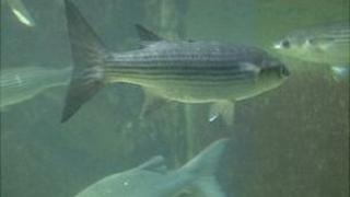 Bass tank in the Guernsey aquarium, from which the fish was stolen