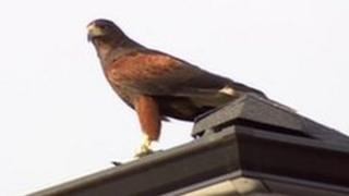 Harris hawk on roof
