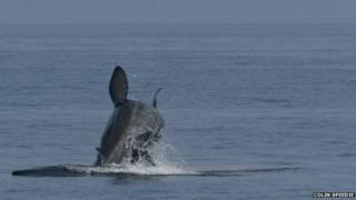 Basking shark breaching
