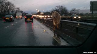 The cow walks along the central reservation of the westbound carriageway