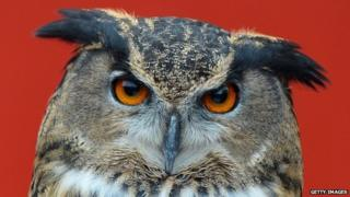 European owl looking directly at the camera