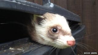 Ferret found in wheelie bin in Waterbeach, Cambridgeshire