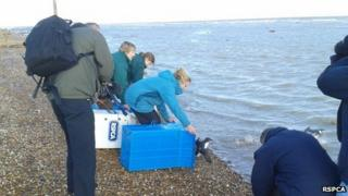 Birds being released into the sea from RSPCA boxes