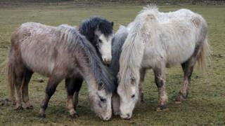 Ponies at the rescue site in Wales