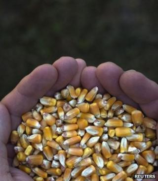 Corn kernels (Image: Reuters)