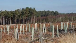 Broadleaf tree saplings in tubes