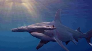 Three varieties of hammerhead will now be regulated under Cites for the first time, a move that campaigners say will help save the species