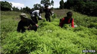 Indonesian police inspect marijuana plants in Aceh Besar district