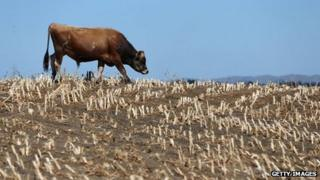 Cows search for edible grass in drought strickened paddocks on 12 March 2013 in Waiuku, New Zealand