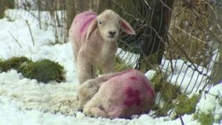 Lambs in snow