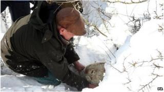 Farmer Gareth Wyn Jones rescuing a pregnant ewe in the recent snow in Conwy