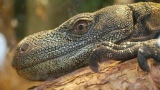 Black-throated monitor lizard