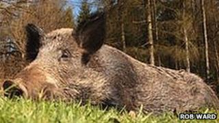 Wild boar in the Forest of Dean, Gloucestershire