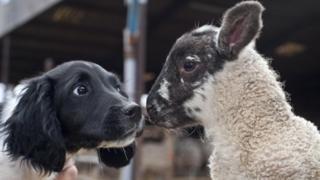 A puppy meets a lamb
