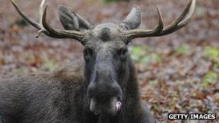 A European elk (file image)