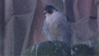 One of the peregrines at Derby Cathedral.