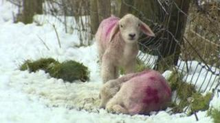Lambs in snow