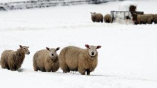 Sheep in snow in Flintshire