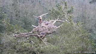 The ospreys are being monitored in a secret location