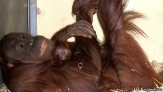 Orangutan mother Mali, with her new offspring, April 2013