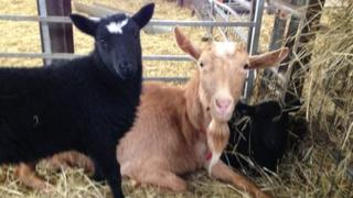 Goat and two lambs at White Post Farm