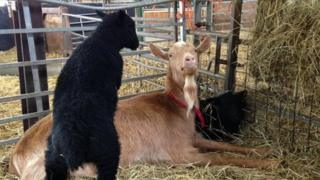 Sheep and goat at White Post Farm
