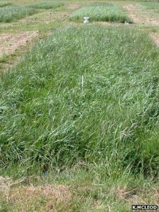 Plot of hybrid grass (Image: Kit Macleod)