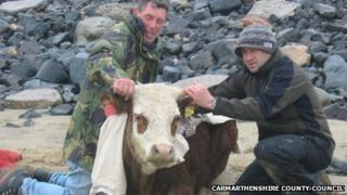Rescued cow at Cefn Sidan beach in Carmarthenshire