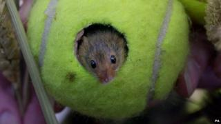 Mouse in tennis ball