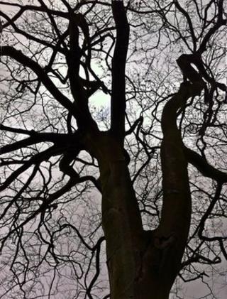 Beech tree (Image: BBC)