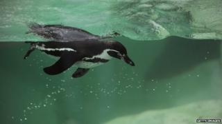 Penguin swimming