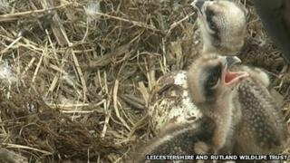 Two of the young osprey chicks