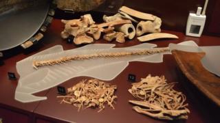 Bones from cattle (9), cod (10), hake (11) and conger eel (12)