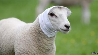 Nelson the lamb